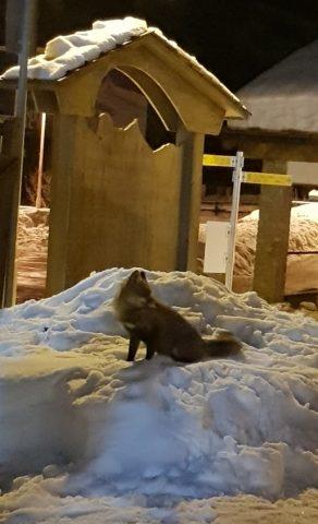 La volpe nella neve del giardino dello Skiman a Champorcher vista dai dehors - 02