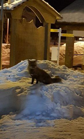 La volpe nella neve del giardino dello Skiman a Champorcher vista dai dehors - 03