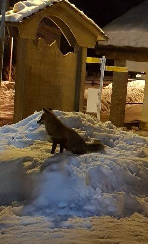 La volpe nella neve del giardino dello Skiman a Champorcher vista dai dehors - 04
